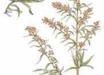 Plantas medicinales: Artemisa