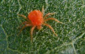 Cómo erradicar la araña roja