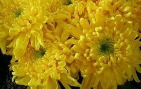 Crisantemos, flores divinas