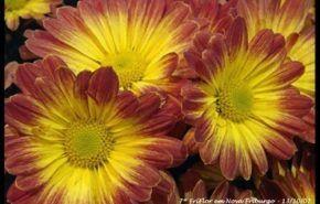 Crisantemos, todo sobre ellos