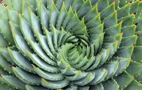 El Aloe una planta con múltiples usos