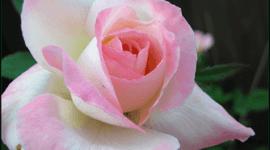 La rosa, la planta ornamental por excelencia