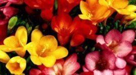 Perfumadas fresias