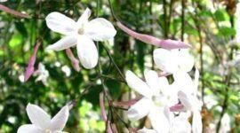Jazmín español, la flor de un día