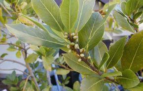 Cultivando laurel (Laurus nobilis)