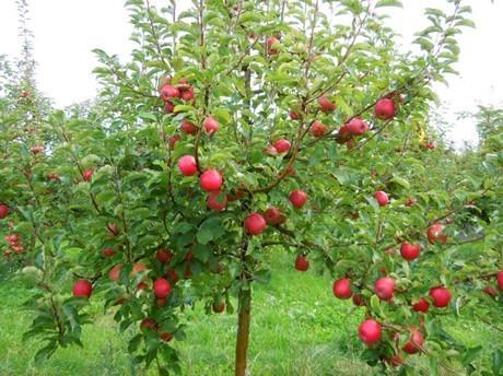 Los cuidados del manzano for Arboles para plantar en verano
