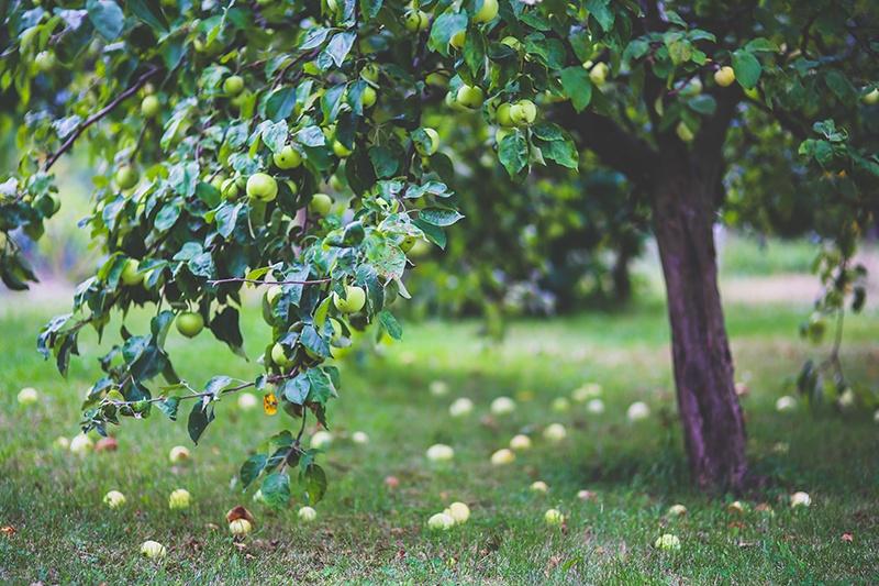 Los cuidados del manzano for Arbol con raices y frutos