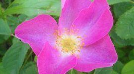 Rosas Botánicas