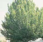 Abedulillo, árbol