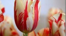 Tulipanes | Consejos