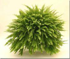 Plantas de interior   Helecho
