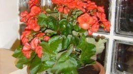 Begonias para nuestro jardín