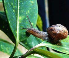 Método ecológico y no agresivo para controlar caracoles