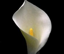 La cala amarilla