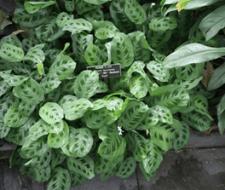 Maranta, belleza tropical