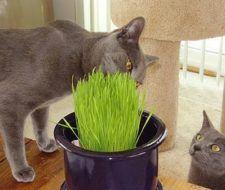 Hierba para gatos, cuidados y consejos