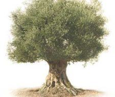 El árbol del olivo