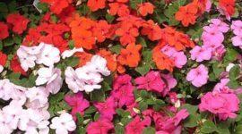Alegría, una planta que debe entrar en tu vida