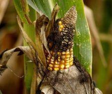 Problemas y plagas del maíz dulce
