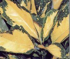Arbustos | Laurel Japones