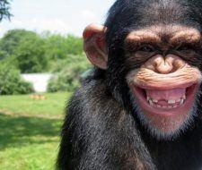 Animales en extinción, chimpancés en peligro.