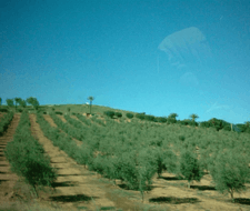 Olivos: Cómo plantarlos…y cuidarlos