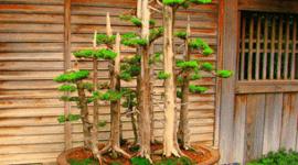 El bonsái