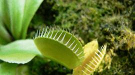 Dionea atrapamoscas