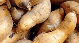 Descubren exploración polinesia de América gracias a la batata
