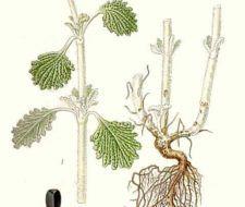 Marrubio. Planta medicinal