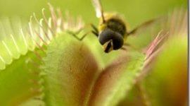 Plantas carnivoras   Diana atrapamoscas