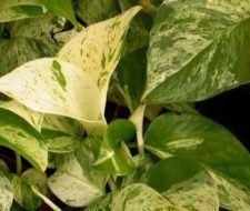 El potus (poto) una de las plantas de interior favoritas