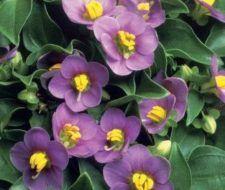 La hermosa violeta persa