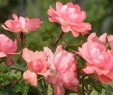 Preparar las rosas para el invierno