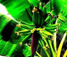 Cultivo de Jengibre
