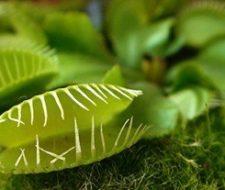 Árbol de banano como planta de interior