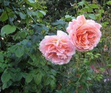 Rosas para cada clima