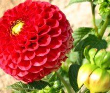 Cómo plantar las flores de bulbo
