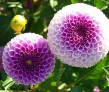 Cultivo y cuidado de las Dalias
