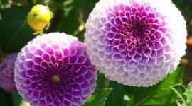 La cultura de las flores en Tailandia