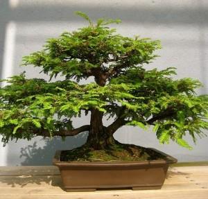 Como cuidar un bonsai - Como cuidar bonsais ...