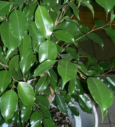 como-cuidar-un-ficus-benjamina-hojas