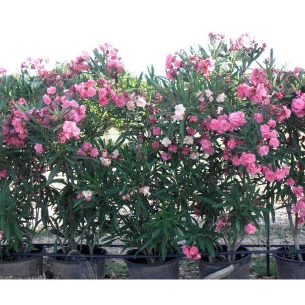 plantas-venenosas-para-perros-que-no-debes-plantar-en-el-jardin-adelfa
