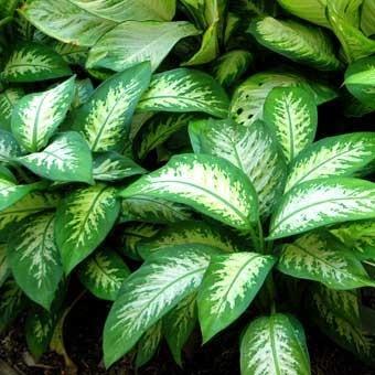 plantas-venenosas-para-perros-que-no-debes-plantar-en-el-jardin-difenbaquia