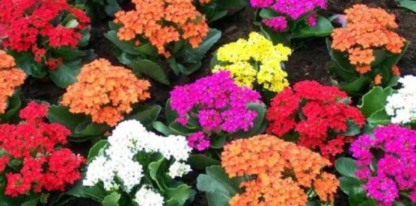 plantas-venenosas-para-perros-que-no-debes-plantar-en-el-jardin-kalanchoe