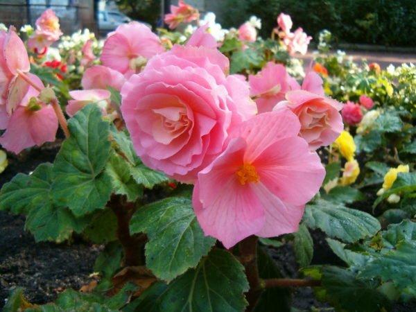 plantas-venenosas-para-tu-gato-que-no-debes-plantar-en-tu-jardin-begonias