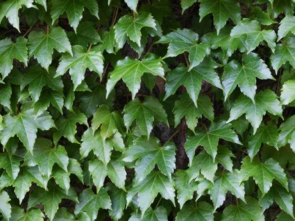plantas-venenosas-para-tu-gato-que-no-debes-plantar-en-tu-jardin-hiedra