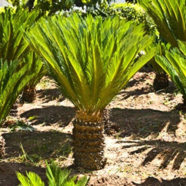 plantas-venenosas-para-tu-gato-que-no-debes-plantar-en-tu-jardin-palmera-sagu