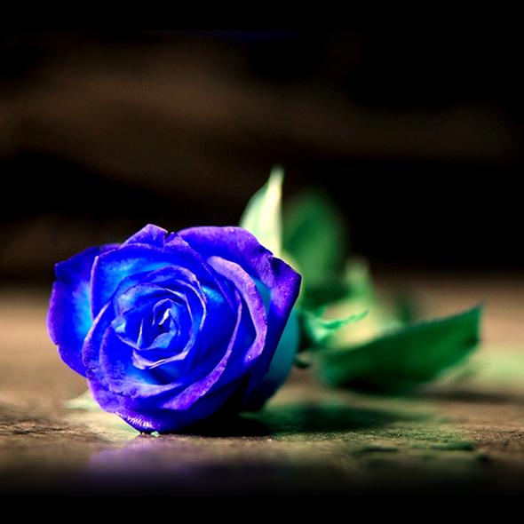Rosas Azules Cuál Es Su Significado Tendenziascom