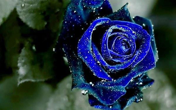 rosas-azules-cual-es-su-significado